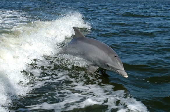 Tursiops truncatus, the bottlenose dolphin.