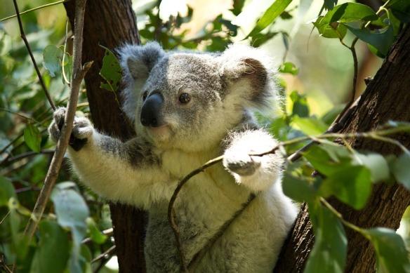 koala-74908_960_720