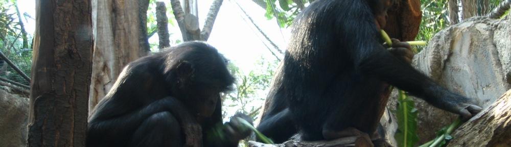 two bonobos sit on logs in habitat