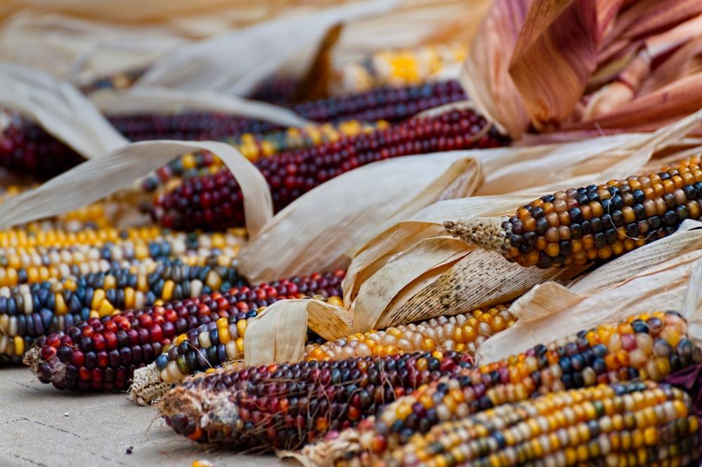 closeup of indian corn