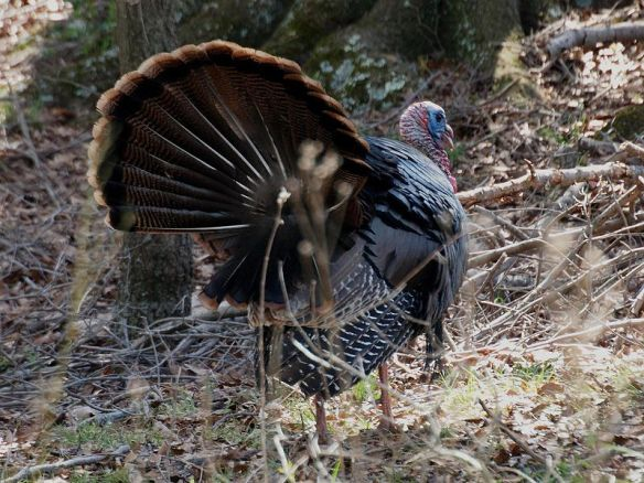 An Eastern Wild Turkey (Meleagris gallopavo) male struts to impress a nearby female.